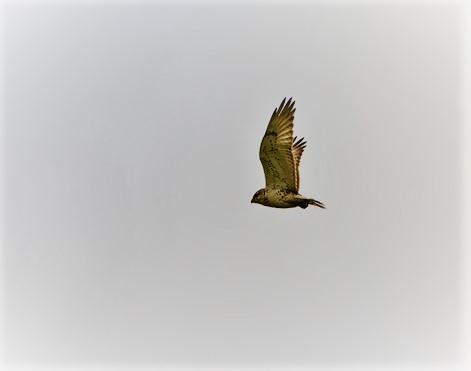Hawk flying above Almond Ranch