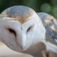 barn-owl-twilight-2020